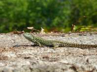 One of the many lizards that scurry around - luckily this one stood still long enough !