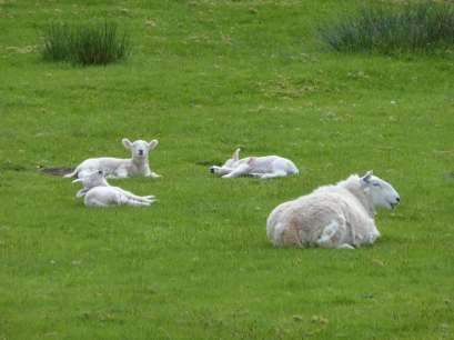 Relaxed sheep with lambs
