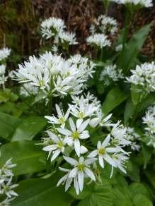 Wild garlic in full bloom