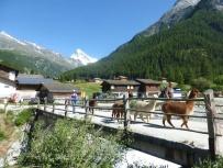 Alpacas crossing the Les Haudères bridge !
