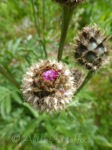 Alpine Knapweed emerging