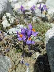 Alpine Toadflax (linaria alpina)