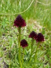 Black Vanilla Orchid