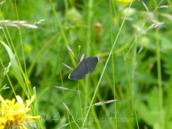 Chimney Sweeper moth
