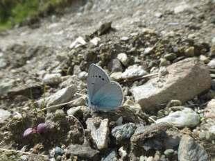 Green-Underside Blue butterfly (glaucopsyche alexis)