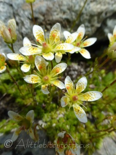 Moss Saxifrage
