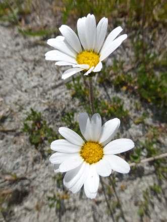 Mountain Marguerite (leucanthemum adustum)