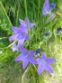 Purple Bellflower