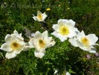 White Alpine Pasqueflowers(1)