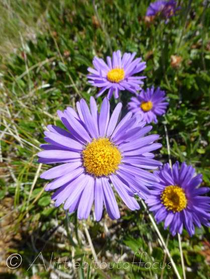 Alpine Asters