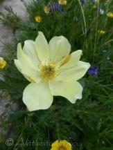 Yellow Alpine Pasqueflower
