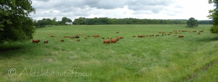 Brown cows in the field