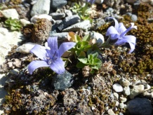 "According to my Swiss Alpine Club flora book, these are ""rather rare"" !"