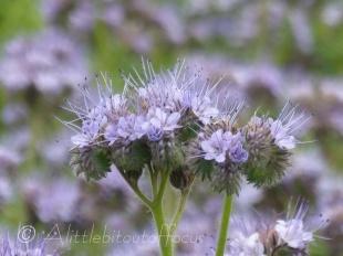 Phacelia flower