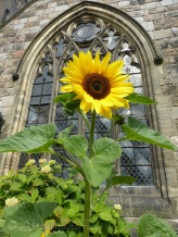 Church sunflower