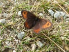 This was one of just 2 butterflies that we saw today. It could be the last of the season