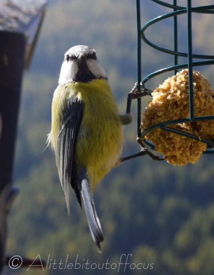 Blue Tit smiles for the camera
