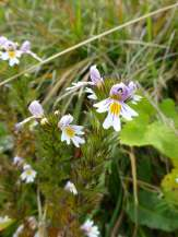 Common Eyebright
