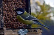 Great Tit on nut feeder