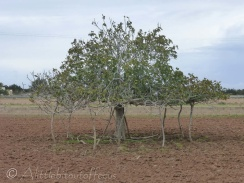 Supported fig tree