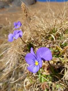 Alpine Pansies