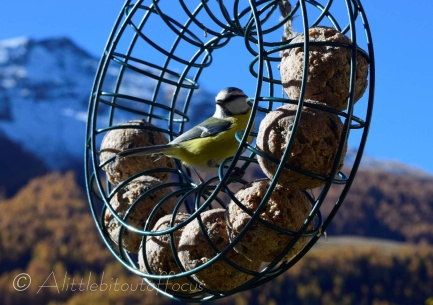 Blue Tit in feeder