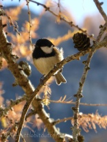 Coal Tit in Tree