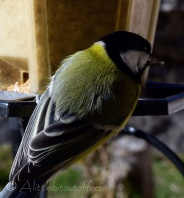 Great Tit close-up