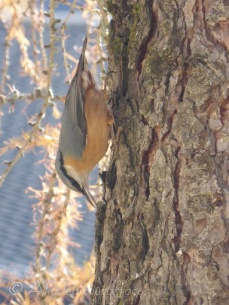 Nuthatch descending