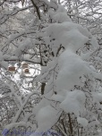 Snow on branches 1