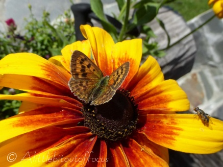 Butterfly on bright orangey yellow flower