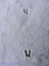 Deer prints