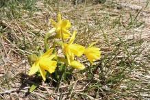 Mini-daffodils