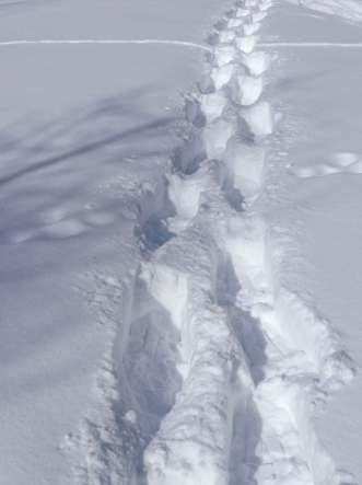 Snowshoe prints