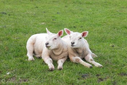 18 Lambs