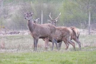 19 Deer