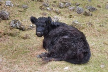 6 Hairy cow