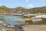 8 Highland cows paddling