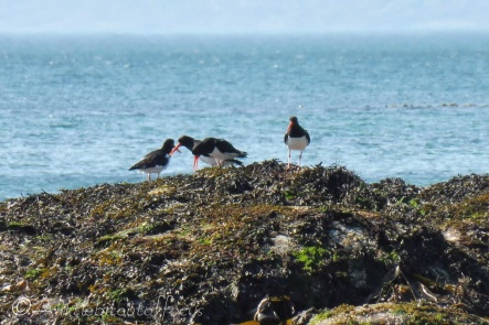 9 Oyster catchers