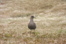 15 Great Skua or Bonxie