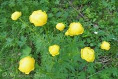 25 Globe flowers