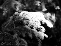 27 Fir Tree (b&w)