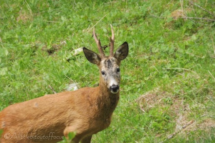 3 Young stag