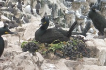 6 Shag on nest