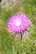 1 Smooth stemmed thistle