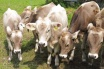 12 Brown Swiss calves
