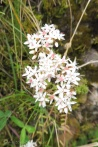 13 Possibly a Saxifrage
