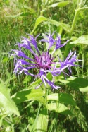 2 Alpine knapweed