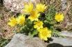 20 Yellow Alpine Pasqueflowers