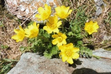 20 Yellow Alpine Pasqueflowers